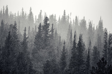 Layers of tall pine trees get snowed on in Rocky Mountain National Park in Colorado, USA. The trees fade from dark to light as they fade into the horizon.
