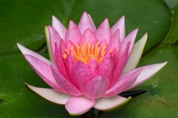 Pink lotus.