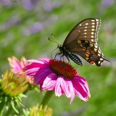 Spicebush swallowtail butterfly on coneflower