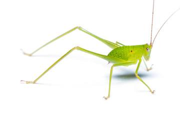 Bush cricket (Katydid) isolated on white background.