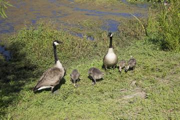 Alert Geese