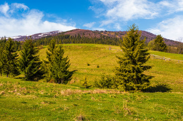 conifer forest in summer countryside landscape