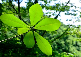 Big leaves of Japanese Bigleaf Magnolia or Japanese whitebark magnolia (Magnolia obovata)