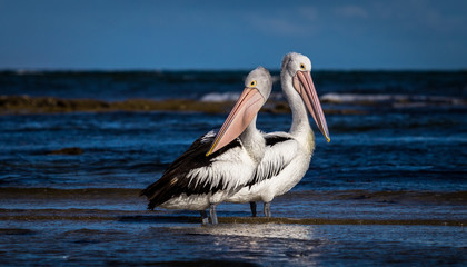 2 pelicans on a beach looking in different directions