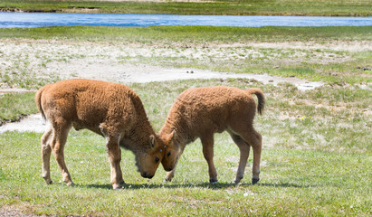 Two Young Bison Head Butting Each Other In A Grassy Field With Stream The