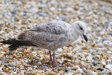 Close up of an immature Herring Gull standing on a shingle beach looking for food.