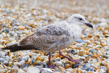 Close up of an immature Herring Gull walking on a shingle beach.