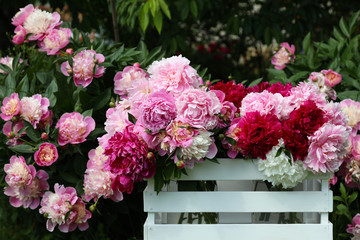 White, pink and crimson peonies in a white wooden box. Peonies in the spring garden.
