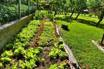 Different kind of lettuce in permaculture garden