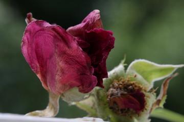 Das Rosenherz verwelkt