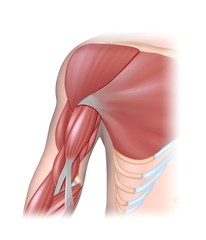 Arm muscles anterior compartment
