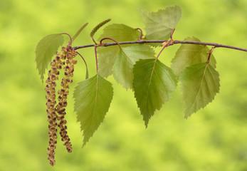 Birkenpollen am Zweig einer Birke