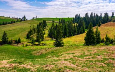conifer forest in summer landscape
