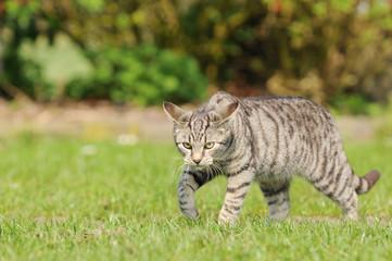 tabby cat running on meadow