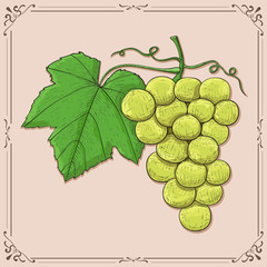 White grapes with green leaf. Hand drawn sketch on beige background