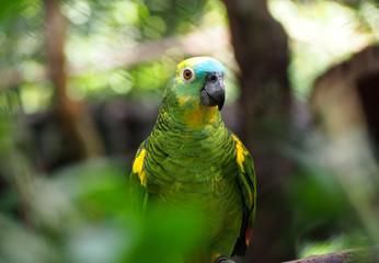 Perroquet de la forêt amazonienne
