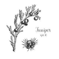 Hand drawn ink illustration of juniper berries