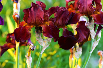 Fond de hotte en verre imprimé Iris Beautiful floral background. Amazing view of the bright red iris blooming in the garden in the middle of a sunny summer spring day with green grass.