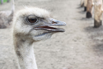 The head of ostrich look at camera