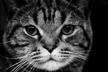 cute scottish cat - black and white animals portraits