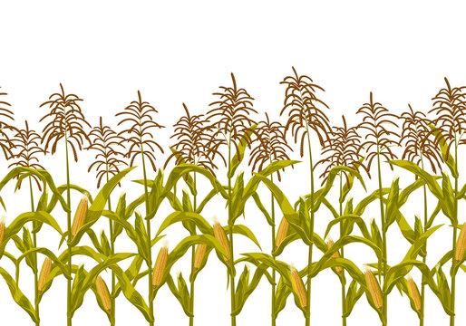 Corn maize vector seamless horizontal border pattern. Realistic botanical isolated illustration.
