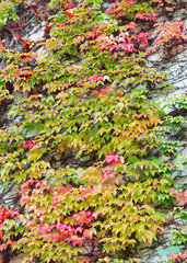 Beautiful red and green leaf of ivy is claiming up the wall. Wall is hidden under the ivy. Thick shroud of ivy. Wall is ivy-encircled.