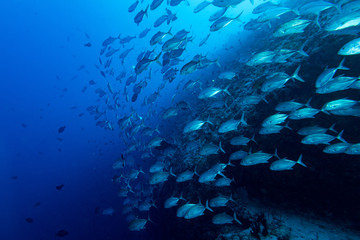 Giant trevally tuna caranx fish isolated on blue diving maldives