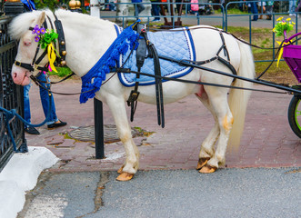 Pet, little white pony, harnessed to a carriage and decorated with flowers