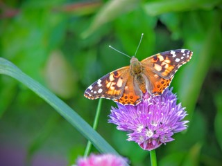 American Painted lady butterfly insect : vanessa cardui