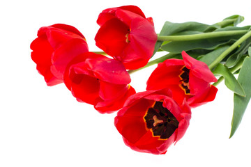 Bouquet of blossoming red tulips isolated on white