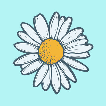 Chamomile, camomile flower floral hand drawn engraving vector illustration. White flower on blue