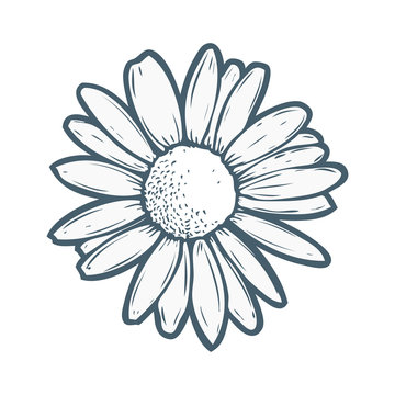 Chamomile, camomile flower floral hand drawn engraving vector illustration. White flower on white