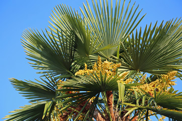 Lush palm tree with dates in the tropical country