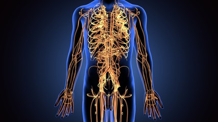 3d illustration of human body nerves system