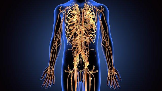3d illustration of human body nerves system