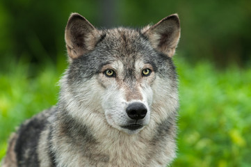 Grey Wolf (Canis lupus) Looks Out From Green