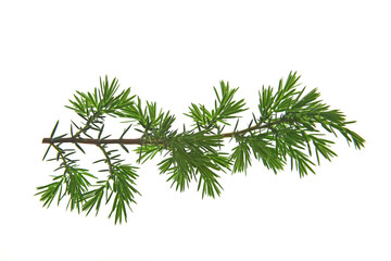 Zweig von Wacholder (Juniperus communis) freigestellt