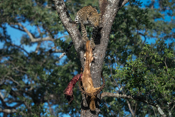 Low angle view of leopard with dead deer on tree