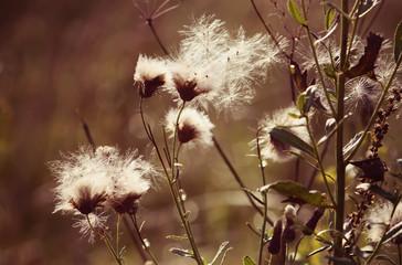 White fluffy wildflowers