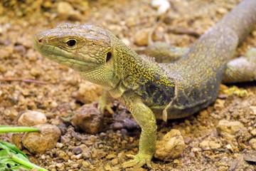 Portrait de reptile