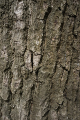 Oak bark texture. Tree bark background. Texture of tree bark.