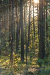 Pine forest in autumn at sunset. The sun's rays through the trees. The shadows on the ground. Vertical picture.