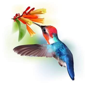 Bee Hummingbird - Mellisuga helenae. Realistic vector illustration of a flying male Bee hummingbird sipping nectar from flowers of Hamelia patens.
