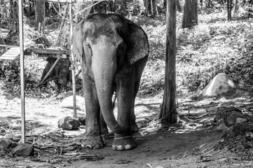 Elephant in chains in Thailand (black and white)