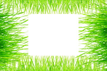 Green wheat grass isolated on white background with space for text