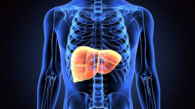 3d illustration of human body liver