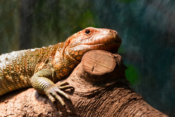 Solitary Caiman Lizard perches on Log