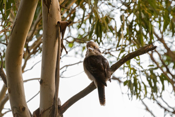 Laughing Kookaburra, largest kingfisher bird in brown perching near on Gum tree branch in Tasmania, Australia