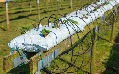 Fully automated watering system provide water and nourishment for these strawberry plants, planted in soil filled plastic bags on elevated wooden railings.