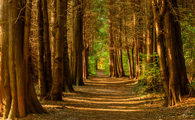 Empty hiking path or trail in old conifer forest. Light come through between the tree trunks and path leads to greener and lighter forest ahead. Stenshuvud national park in Sweden.